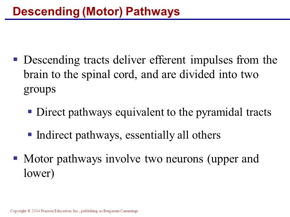 Copyright © 2004 Pearson Education, Inc., publishing as Benjamin Cummings Descending (Motor) Pathways  Descending tracts deliver efferent impulses from the brain to the spinal cord, and are divided into two groups  Direct pathways equivalent to the pyramidal tracts  Indirect pathways, essentially all others  Motor pathways involve two neurons (upper and lower)
