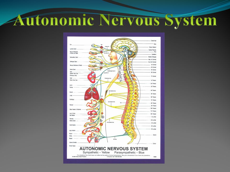 Part of Peripheral Nervous System Associated with voluntary control of body movements Includes all neurons connected with skeletal muscles