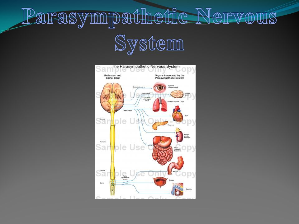 Part of Autonomic Nervous System Located to the Sympathetic Chain that connects to skin, blood vessels, and organs in the body cavity Activated flight