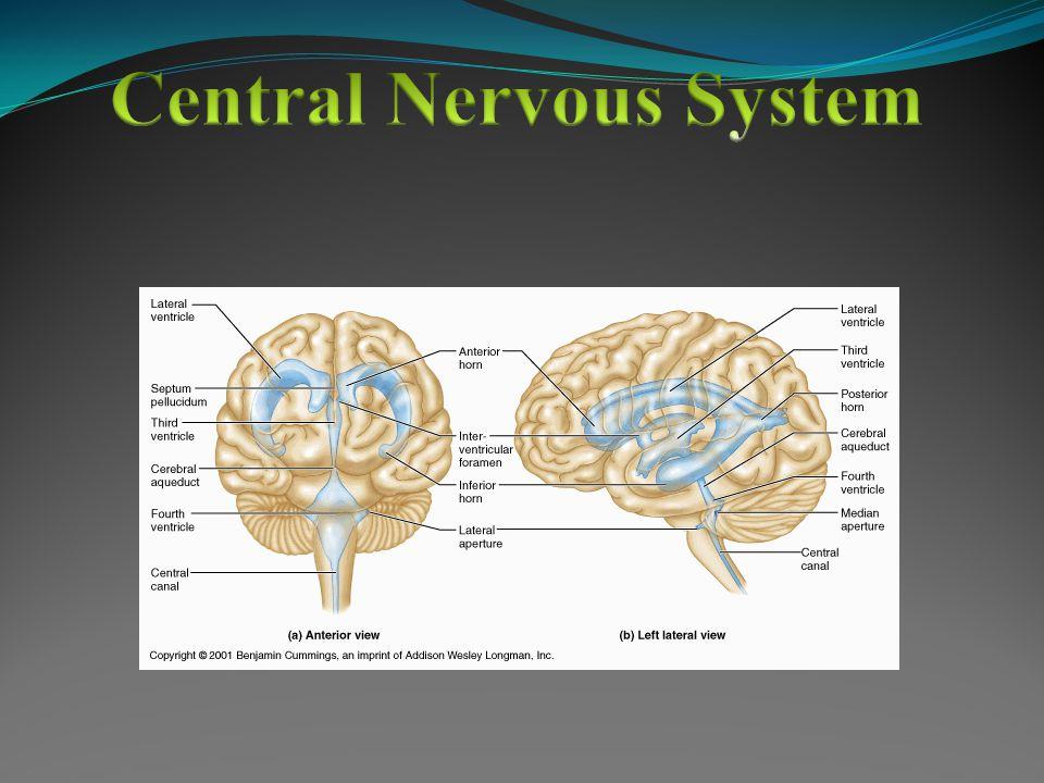Central Nervous System Peripheral Nervous System Somatic Nervous System Autonomic Nervous System Sympathetic Nervous System Parasympathetic Nervous System