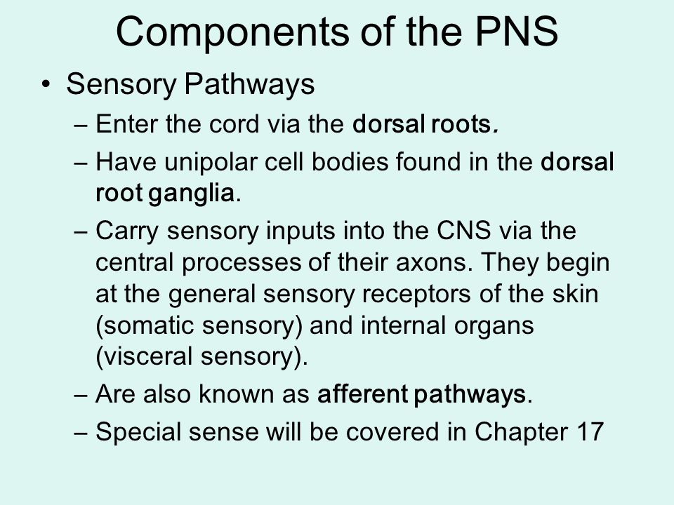 Components of the PNS Sensory Pathways –Enter the cord via the dorsal roots. –Have unipolar cell bodies found in the dorsal root ganglia. –Carry senso