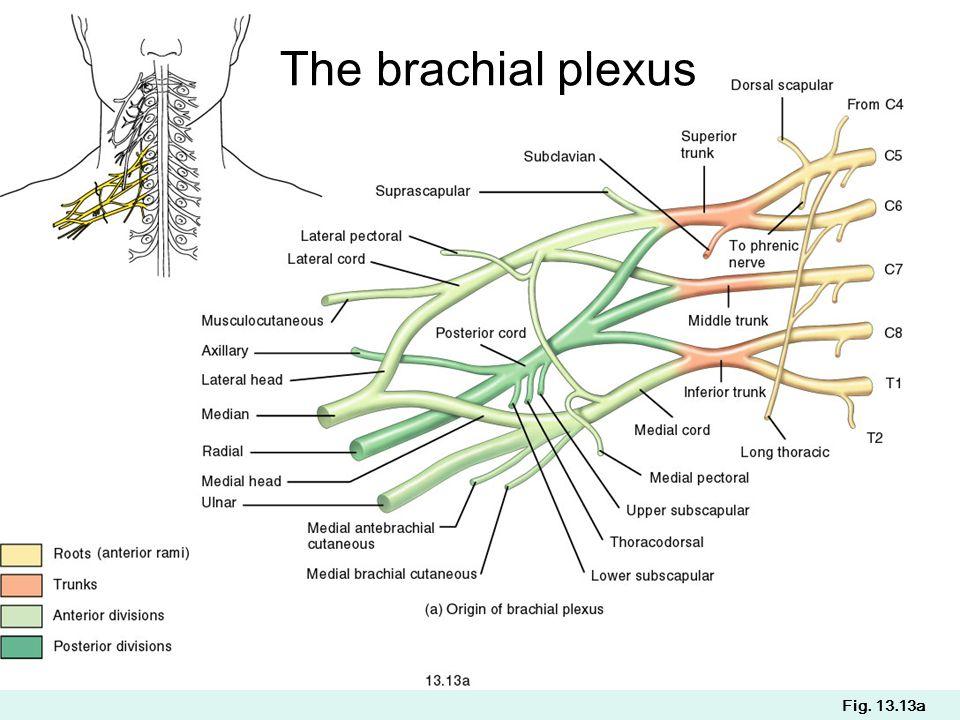 Fig. 13.13a The brachial plexus