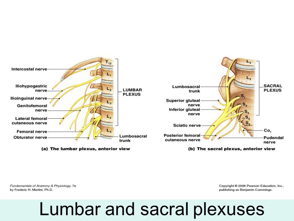 Lumbar and sacral plexuses