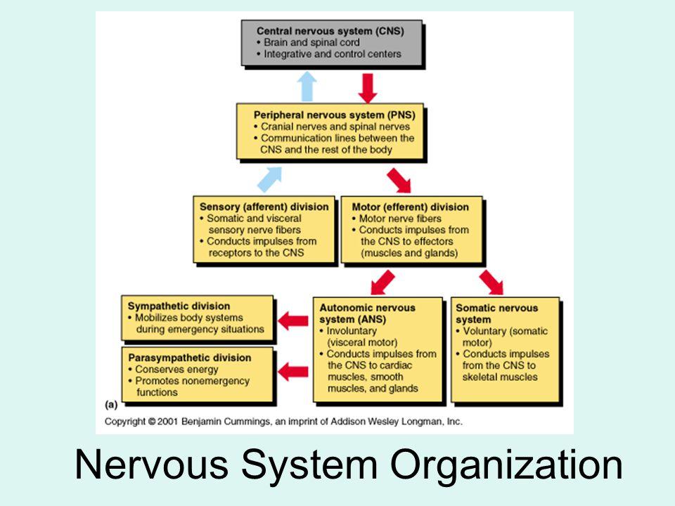 Nervous System Organization