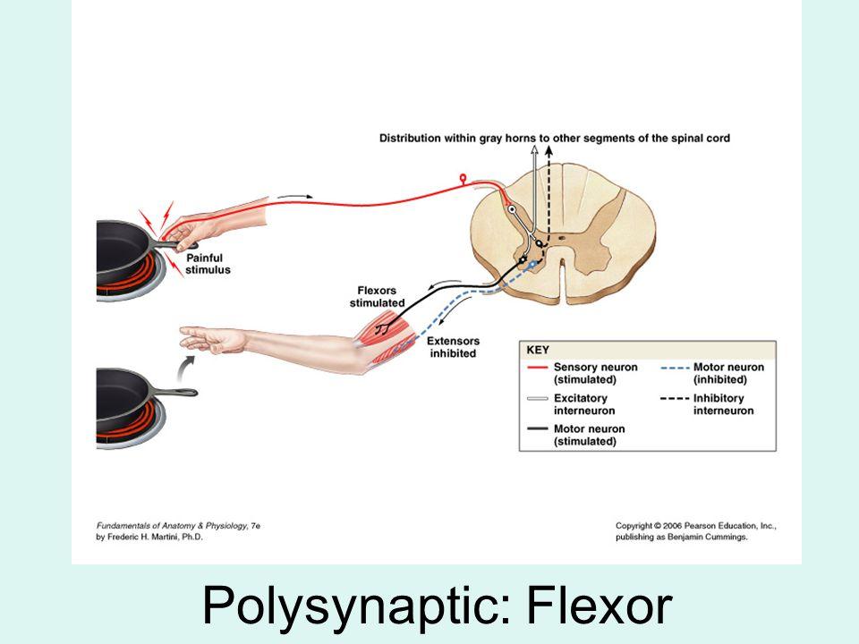 Polysynaptic: Flexor