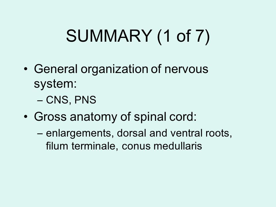 SUMMARY (1 of 7) General organization of nervous system: –CNS, PNS Gross anatomy of spinal cord: –enlargements, dorsal and ventral roots, filum termin