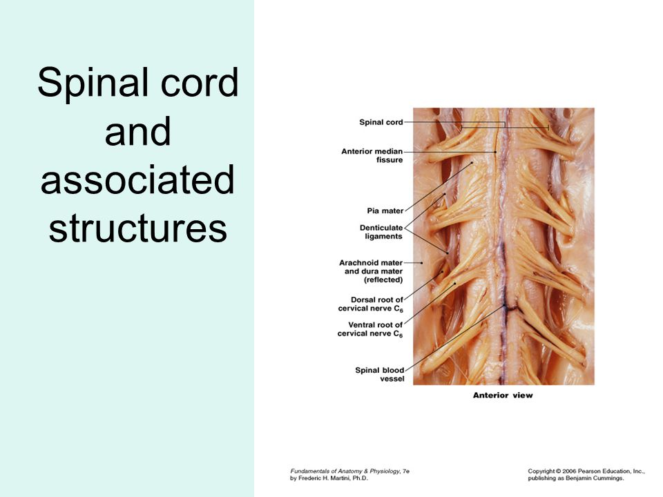 SUMMARY (3 of 7) White matter and columns (tracts) of spinal cord 3 layers in spinal nerves Distribution (rami) of spinal nerves: –white, gray, dorsal, ventral