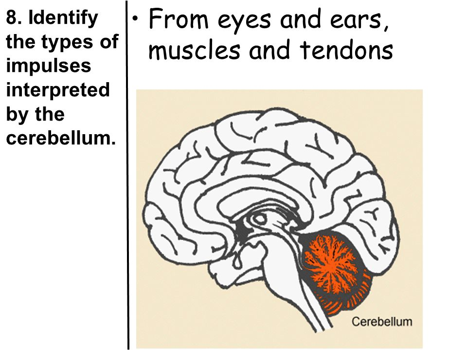 8. Identify the types of impulses interpreted by the cerebellum.