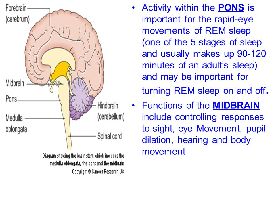 Activity within the PONS is important for the rapid-eye movements of REM sleep (one of the 5 stages of sleep and usually makes up 90-120 minutes of an adult's sleep) and may be important for turning REM sleep on and off.