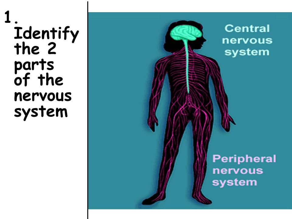 2. Identify the structure s that make up the Central Nervous System.