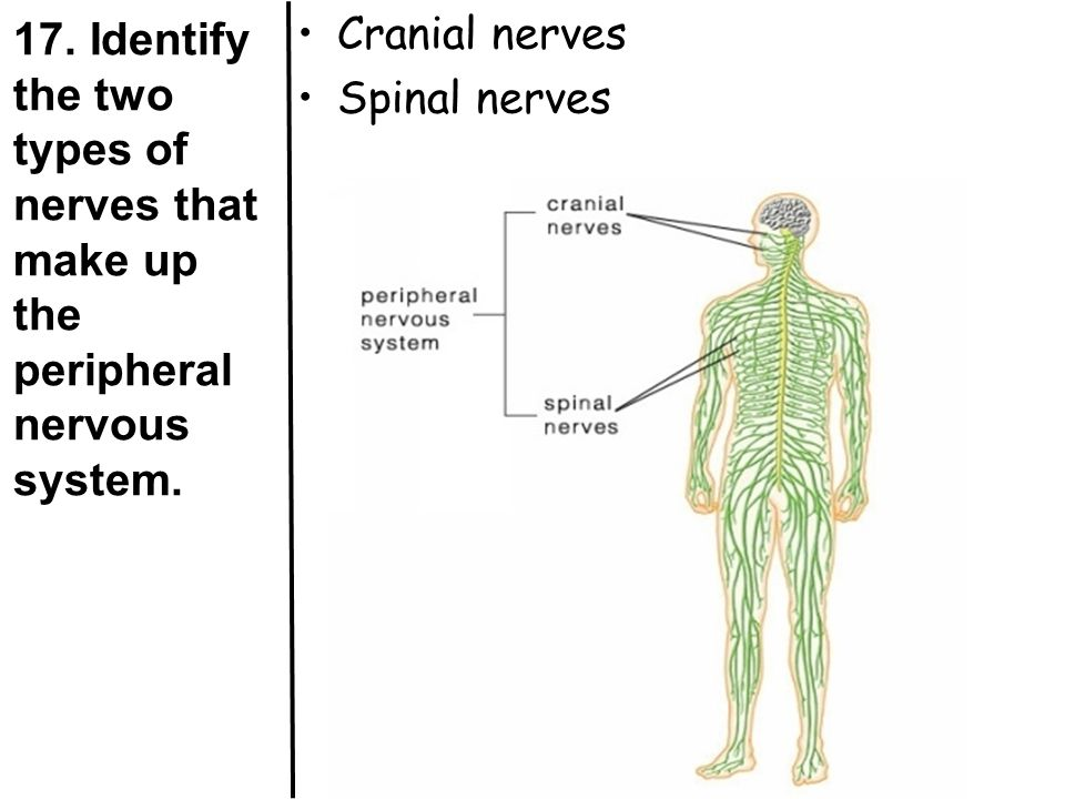 17. Identify the two types of nerves that make up the peripheral nervous system.