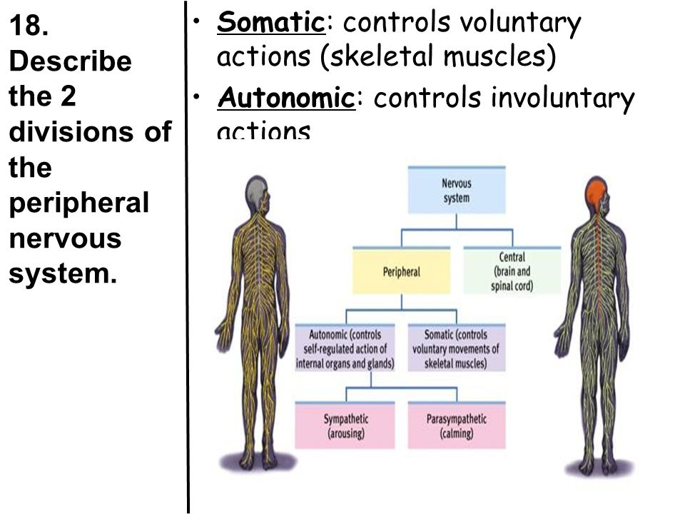 18. Describe the 2 divisions of the peripheral nervous system.