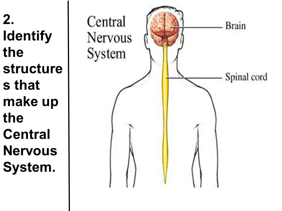 11. Identify the structures that make up the brain stem. Midbrain, pons, medulla oblongata