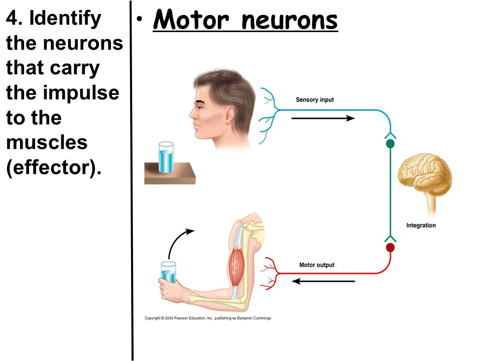 4. Identify the neurons that carry the impulse to the muscles (effector). Motor neurons