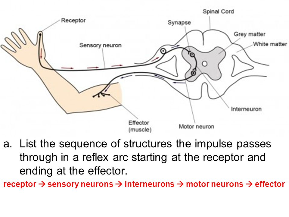 a.List the sequence of structures the impulse passes through in a reflex arc starting at the receptor and ending at the effector.