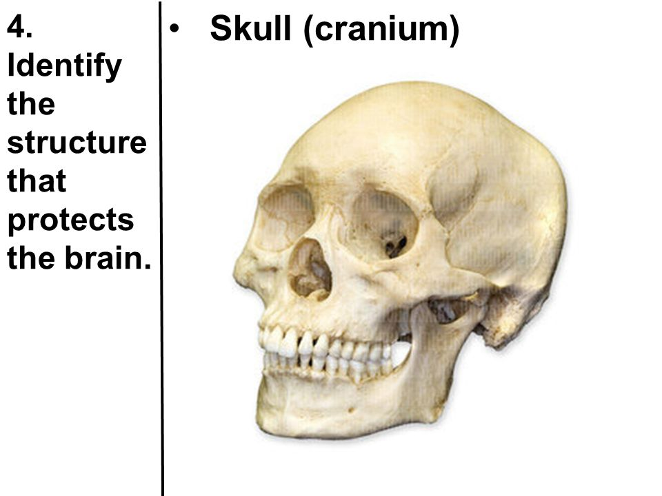 4. Identify the structure that protects the brain. Skull (cranium)