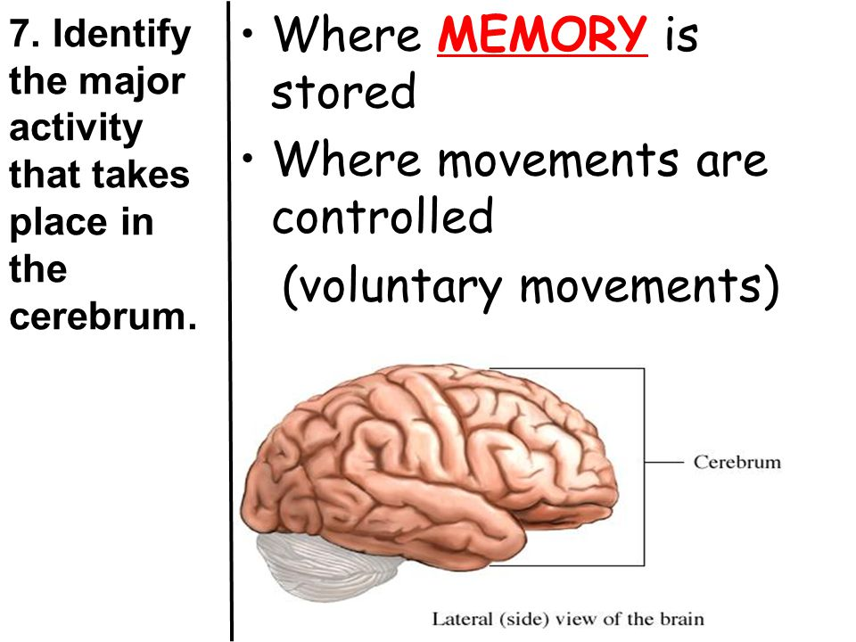 7. Identify the major activity that takes place in the cerebrum.
