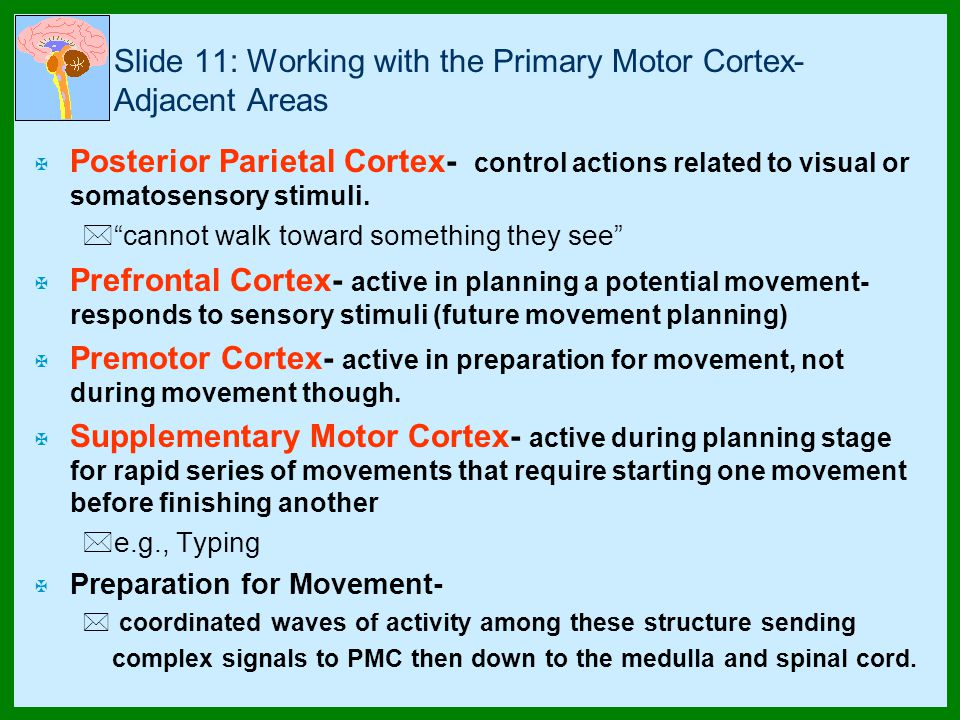 Slide 11: Working with the Primary Motor Cortex- Adjacent Areas X Posterior Parietal Cortex- control actions related to visual or somatosensory stimuli.