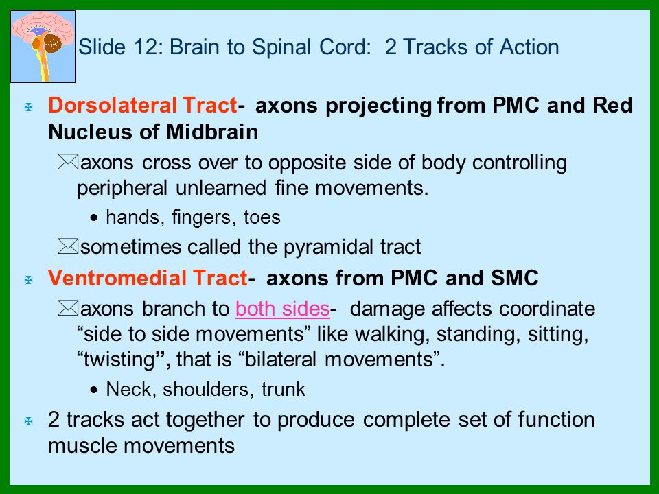 Slide 12: Brain to Spinal Cord: 2 Tracks of Action X Dorsolateral Tract- axons projecting from PMC and Red Nucleus of Midbrain *axons cross over to opposite side of body controlling peripheral unlearned fine movements.
