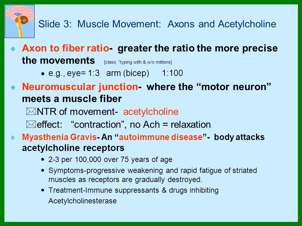 Slide 3: Muscle Movement: Axons and Acetylcholine X Axon to fiber ratio- greater the ratio the more precise the movements [class; typing with & w/o mittens]  e.g., eye= 1:3 arm (bicep)1:100 X Neuromuscular junction- where the motor neuron meets a muscle fiber *NTR of movement- acetylcholine *effect: contraction , no Ach = relaxation X Myasthenia Gravis- An autoimmune disease - body attacks acetylcholine receptors  2-3 per 100,000 over 75 years of age  Symptoms-progressive weakening and rapid fatigue of striated muscles as receptors are gradually destroyed.
