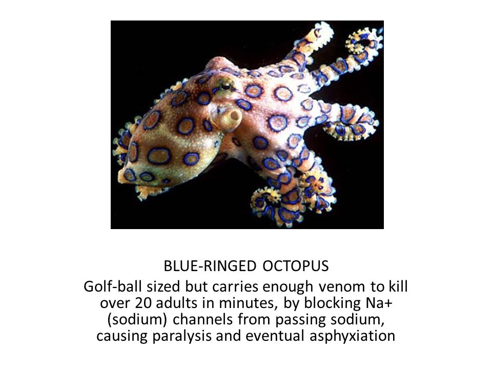 BLUE-RINGED OCTOPUS Golf-ball sized but carries enough venom to kill over 20 adults in minutes, by blocking Na+ (sodium) channels from passing sodium, causing paralysis and eventual asphyxiation
