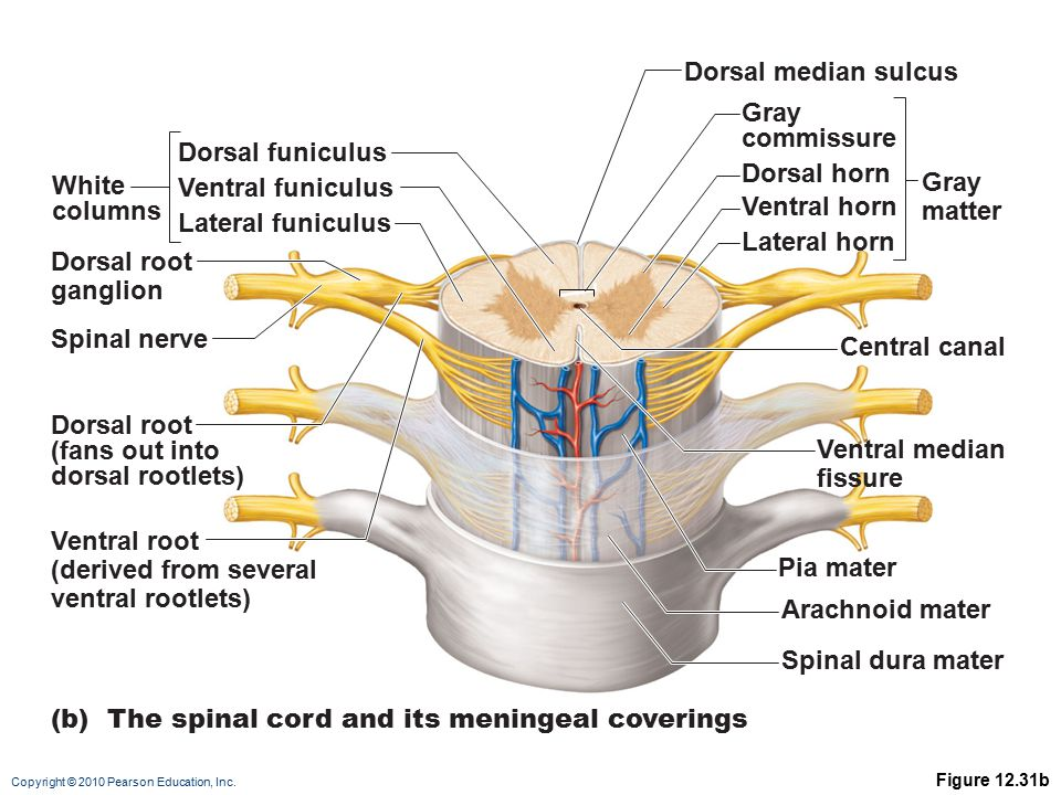 Copyright © 2010 Pearson Education, Inc. Figure 12.31b (b) The spinal cord and its meningeal coverings Dorsal funiculus Dorsal median sulcus Central c