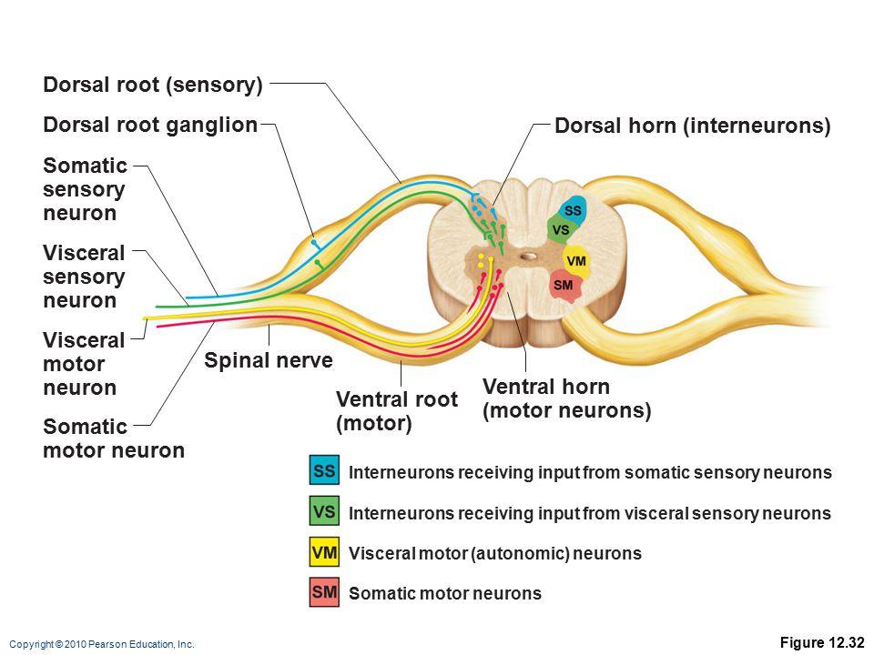 Copyright © 2010 Pearson Education, Inc. Figure 12.32 Somatic sensory neuron Dorsal root (sensory) Dorsal root ganglion Visceral sensory neuron Somati