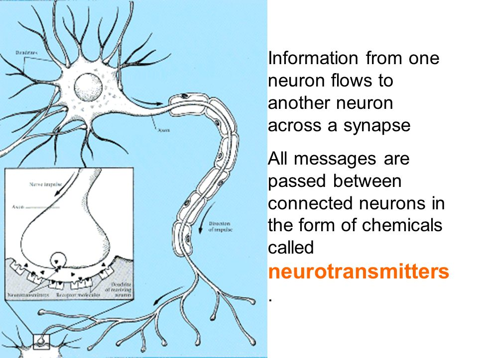 Information from one neuron flows to another neuron across a synapse All messages are passed between connected neurons in the form of chemicals called