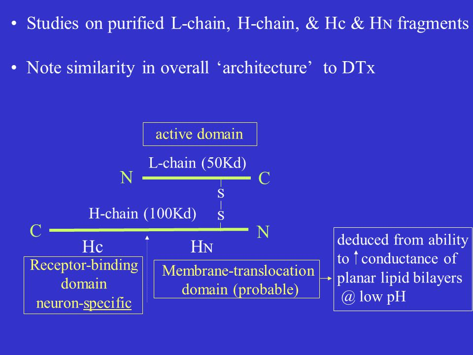 S S N N C C L-chain (50Kd) H-chain (100Kd) HcHNHN Studies on purified L-chain, H-chain, & Hc & H N fragments Note similarity in overall 'architecture' to DTx Receptor-binding domain neuron-specific Membrane-translocation domain (probable) active domain deduced from ability to conductance of planar lipid bilayers @ low pH