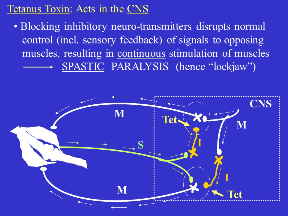 M M I I M S CNS Tetanus Toxin: Acts in the CNS Blocking inhibitory neuro-transmitters disrupts normal control (incl.