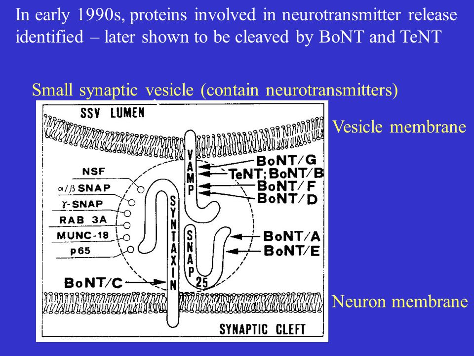 Small synaptic vesicle (contain neurotransmitters) Neuron membrane Vesicle membrane In early 1990s, proteins involved in neurotransmitter release identified – later shown to be cleaved by BoNT and TeNT