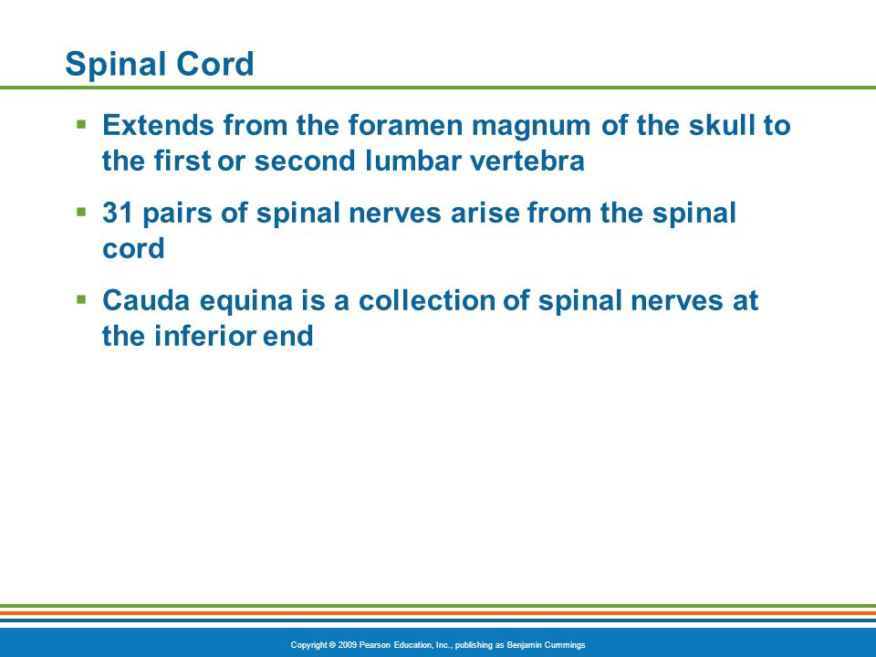 Copyright © 2009 Pearson Education, Inc., publishing as Benjamin Cummings Spinal Cord  Extends from the foramen magnum of the skull to the first or second lumbar vertebra  31 pairs of spinal nerves arise from the spinal cord  Cauda equina is a collection of spinal nerves at the inferior end