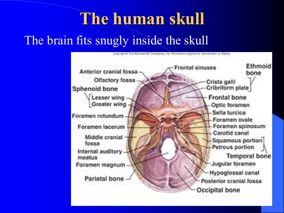 The human skull The brain fits snugly inside the skull