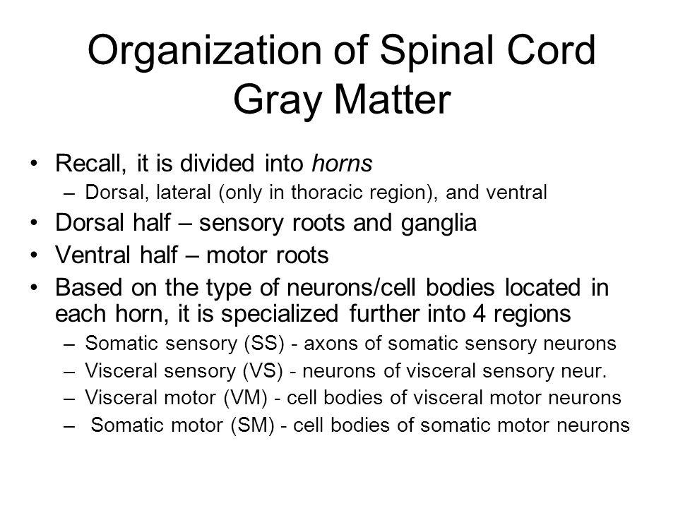 Gray Matter: Organization Figure 12.31