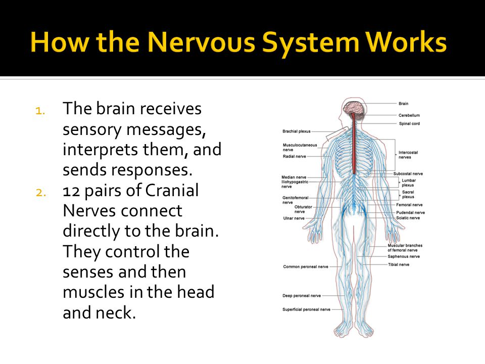 1. The brain receives sensory messages, interprets them, and sends responses.