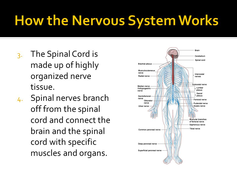 3. The Spinal Cord is made up of highly organized nerve tissue.