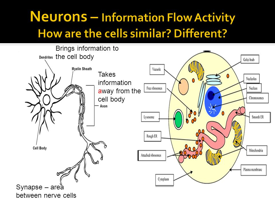 Brings information to the cell body Takes information away from the cell body Synapse – area between nerve cells