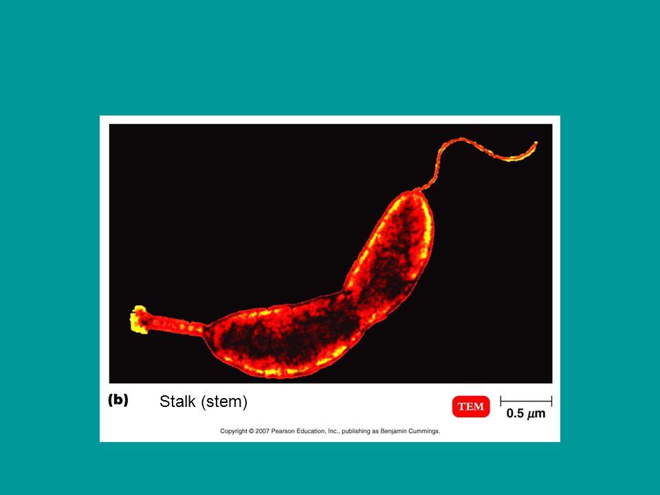Stalk (stem)