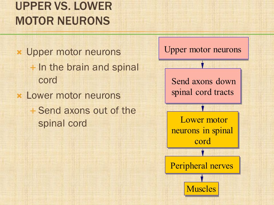 UPPER VS. LOWER MOTOR NEURONS  Upper motor neurons  In the brain and spinal cord  Lower motor neurons  Send axons out of the spinal cord Upper mot