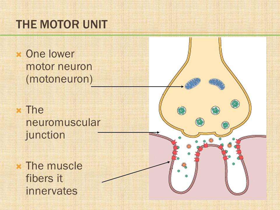 THE MOTOR UNIT  One lower motor neuron (motoneuron)  The neuromuscular junction  The muscle fibers it innervates