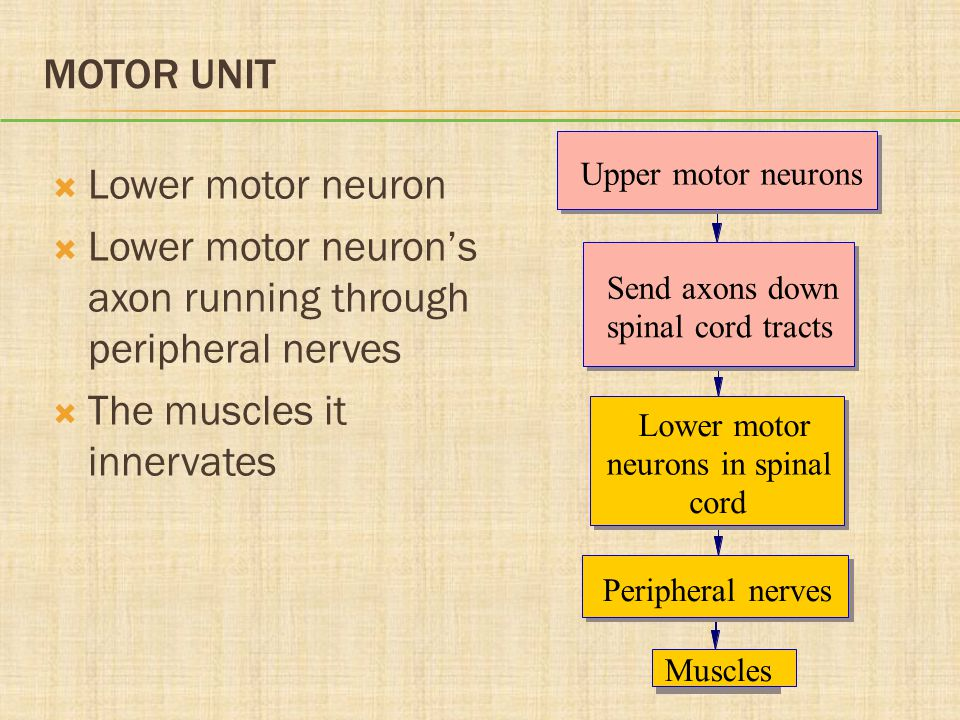MOTOR UNIT  Lower motor neuron  Lower motor neuron's axon running through peripheral nerves  The muscles it innervates Upper motor neurons Send axo