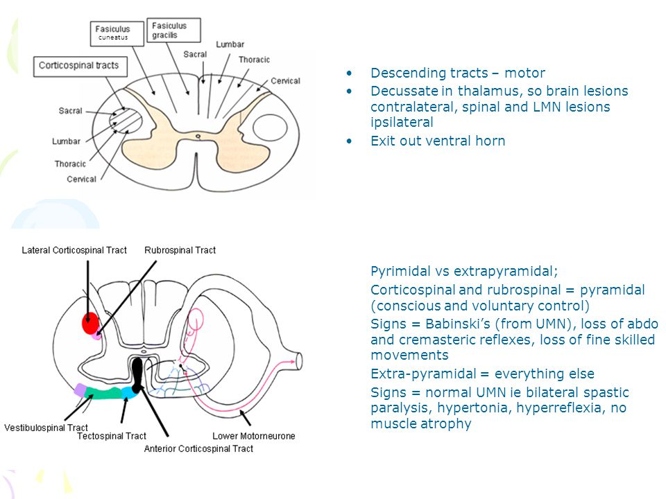 Descending tracts – motor Decussate in thalamus, so brain lesions contralateral, spinal and LMN lesions ipsilateral Exit out ventral horn Pyrimidal vs extrapyramidal; Corticospinal and rubrospinal = pyramidal (conscious and voluntary control) Signs = Babinski's (from UMN), loss of abdo and cremasteric reflexes, loss of fine skilled movements Extra-pyramidal = everything else Signs = normal UMN ie bilateral spastic paralysis, hypertonia, hyperreflexia, no muscle atrophy cuneatus