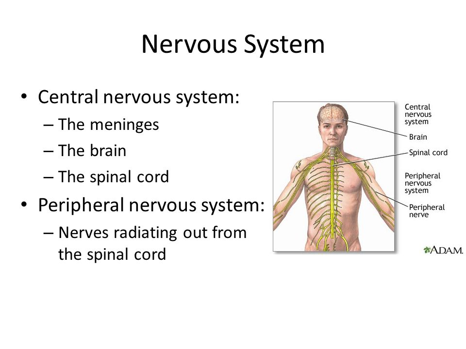 Nervous System Central nervous system: – The meninges – The brain – The spinal cord Peripheral nervous system: – Nerves radiating out from the spinal cord