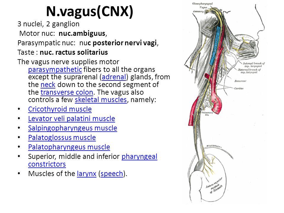 N.vagus(CNX) 3 nuclei, 2 ganglion Motor nuc: nuc.ambiguus, Parasympatic nuc: nuc posterior nervi vagi, Taste : nuc.