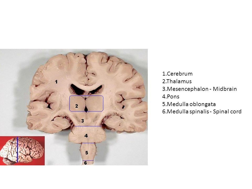 Functions The medulla oblongata controls autonomic functions, and relays nerve signals between the brain and spinal cord.