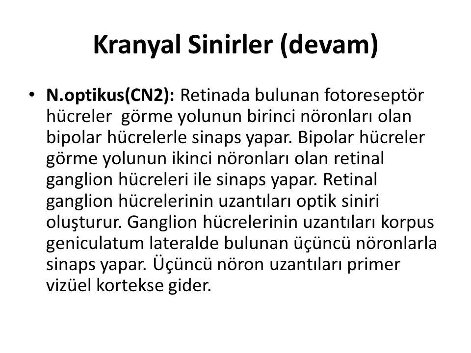 Kranyal Sinirler (devam) N.optikus(CN2): Retinada bulunan fotoreseptör hücreler görme yolunun birinci nöronları olan bipolar hücrelerle sinaps yapar.