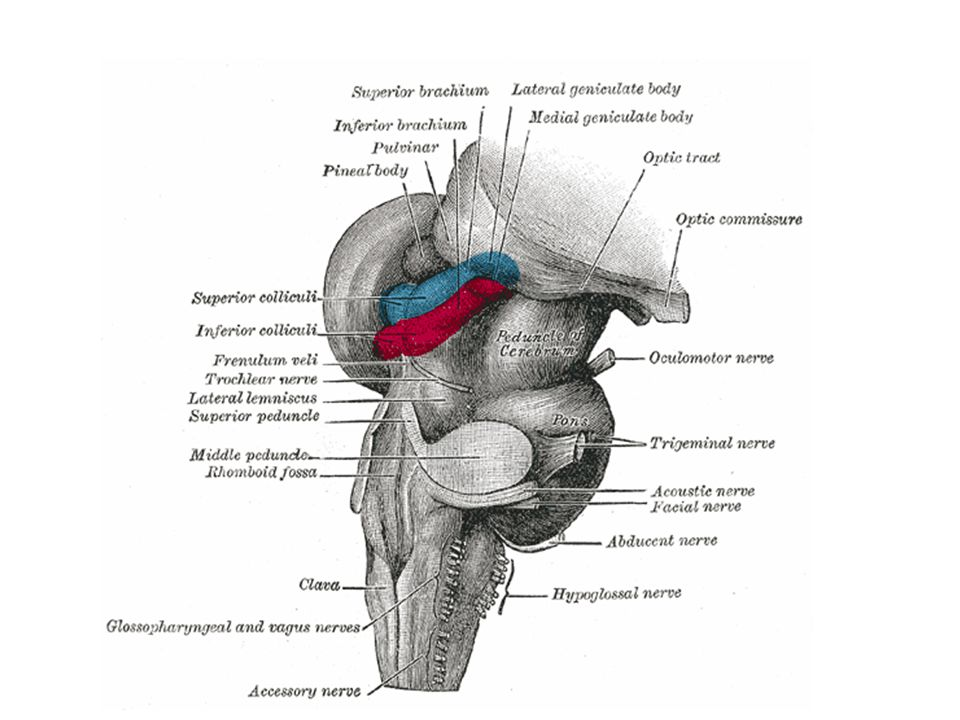 Nuclei of Medulla oblongata Last five cranial nerve nuclei: Nuc.
