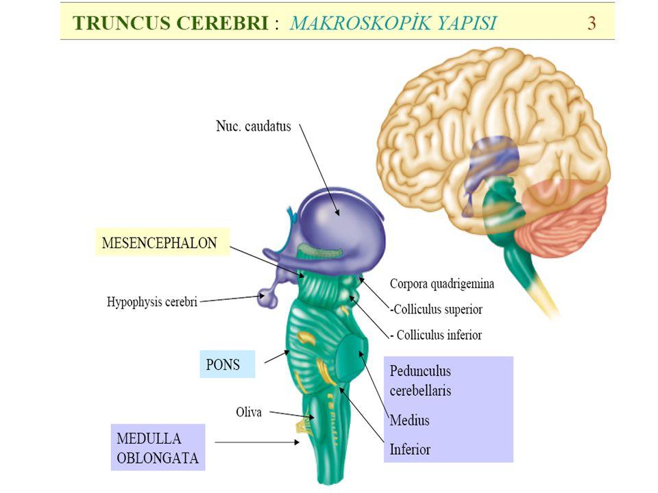 Cranial nerves are the abducens nerve VI, facial nerve VII and the vestibulocochlear nerve VIII, respectively.abducens nervefacial nervevestibulocochlear nerve At the level of the midpons, trigeminal nerve V, emerges.trigeminal nerve