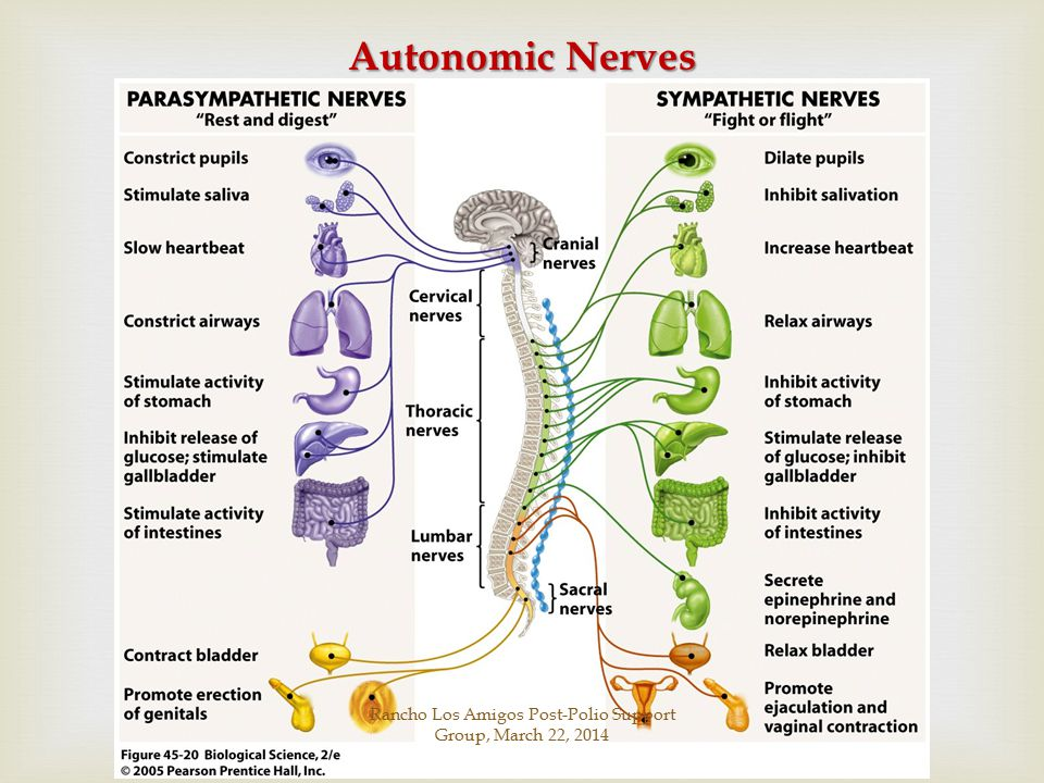 Autonomic Nerves Rancho Los Amigos Post-Polio Support Group, March 22, 2014