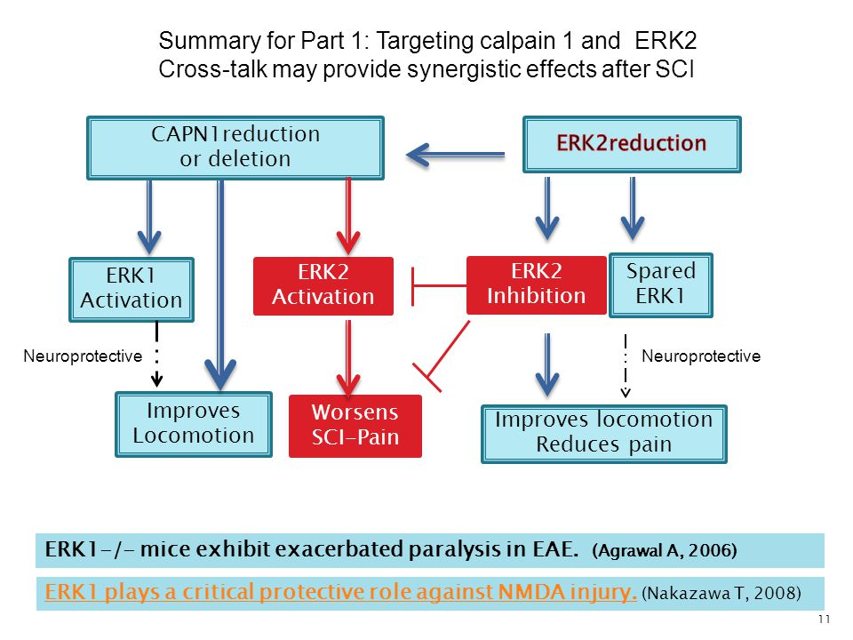 11 Worsens SCI-Pain CAPN1reduction or deletion Improves Locomotion ERK2 Activation ERK1 Activation Improves locomotion Reduces pain Summary for Part 1: Targeting calpain 1 and ERK2 Cross-talk may provide synergistic effects after SCI ERK2 Inhibition Spared ERK1 ERK1-/- mice exhibit exacerbated paralysis in EAE.